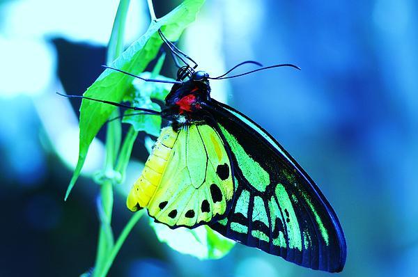 Anne-Elizabeth Whiteway - Butterfly on Blue
