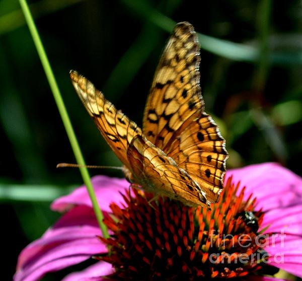 Eva Thomas - Butterfly on Echinacea