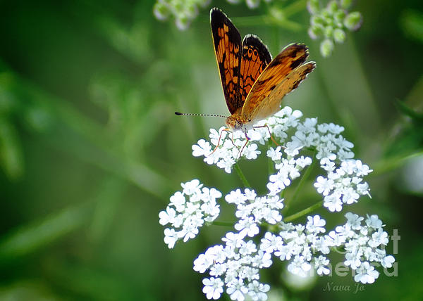 Butterfly On Lacy Wildflower Print by Nava  Thompson