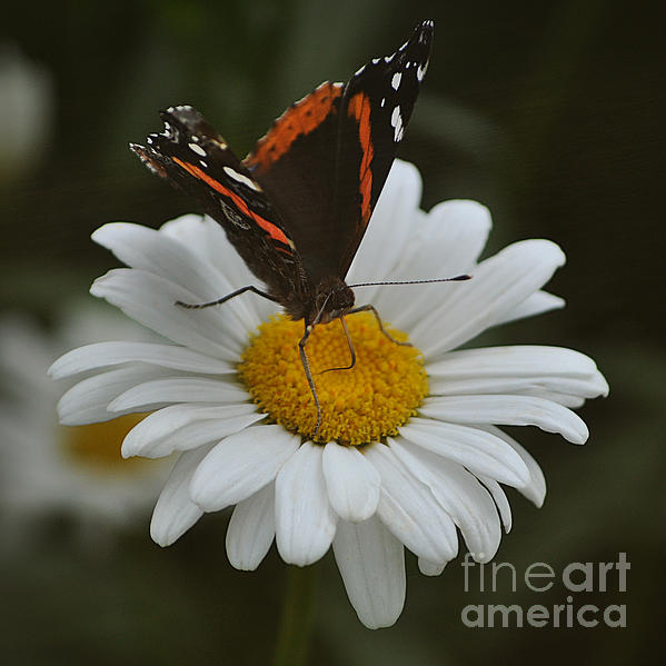Mary Machare - Butterfly on Shasta Daisy