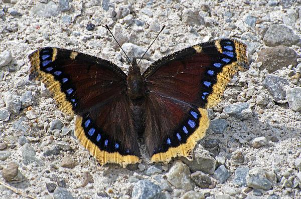 Cheryl Cencich - Butterfly rock