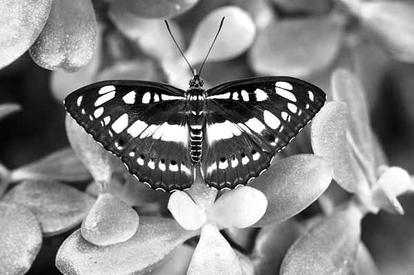 Floyd Menezes - Butterfly Study #0061