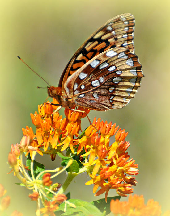 Butterfly Weed 1 Print by Marty Koch