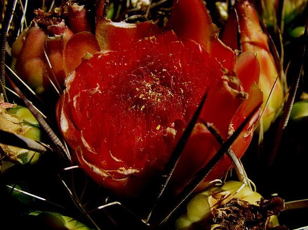 Fred  Sheridan - Cactus