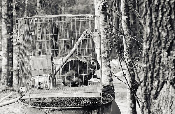 Caged Rabbit Print by Floyd Smith