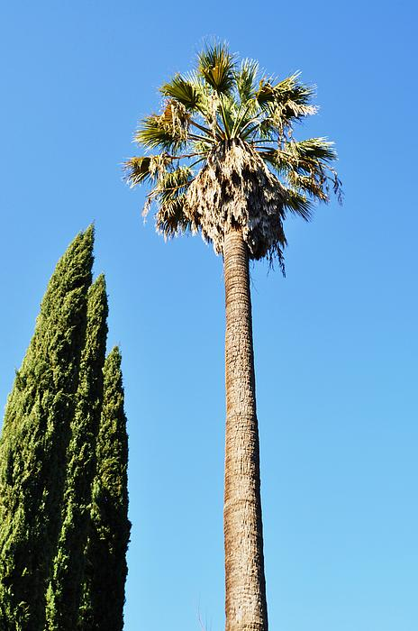 California Palm Print by Todd Sherlock