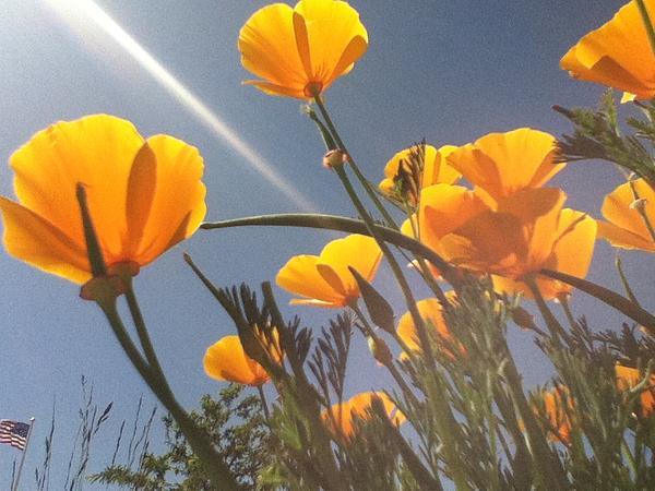 Berta Barocio-Sullivan - California Poppies