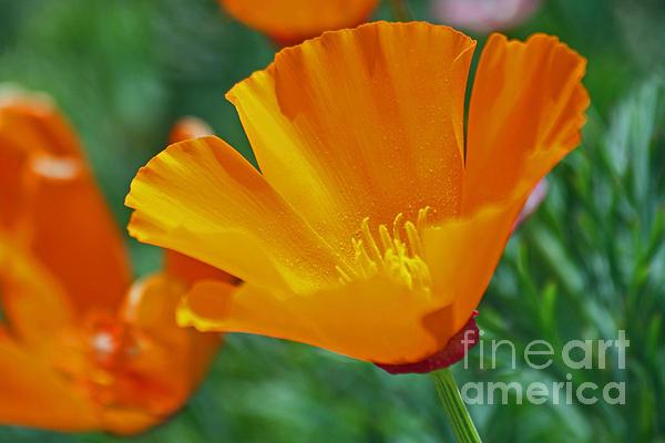 California Poppy Print by Morgan Wright