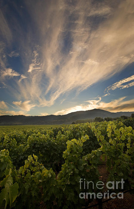 California Vineyard Sunset Print by Matt Tilghman