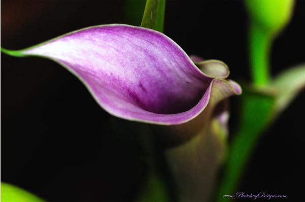 Calla Lily 7421 Print by PhotohogDesigns