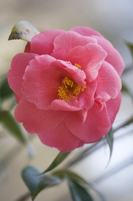 Camellia Japonica Print by Maria Mosolova