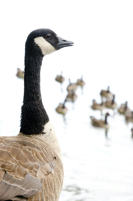 Canada Geese Goose With Wetlands Birds And Waterfowl Print by Andy Smy