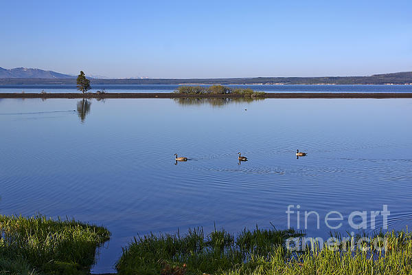 Teresa Zieba - Canada Geese on Yellowstone Lake