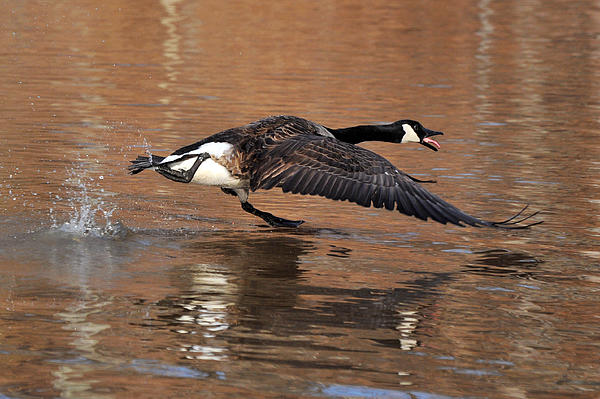 Canada Goose Above Pond - C0174d Print by Paul Lyndon Phillips