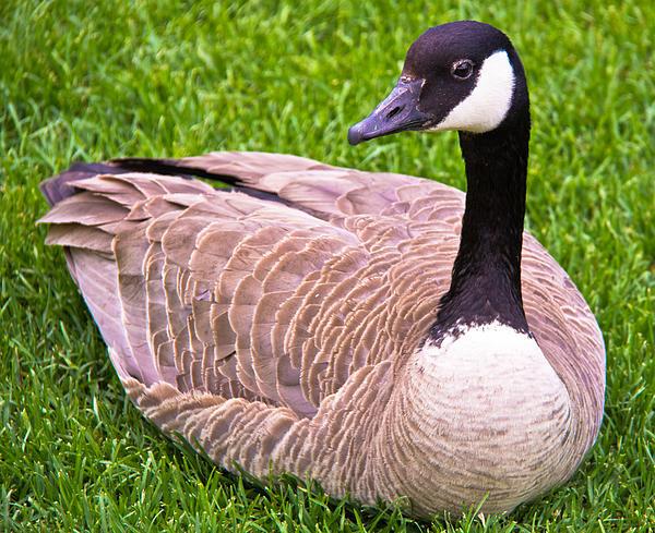Darren Langlois - Canadian Goose