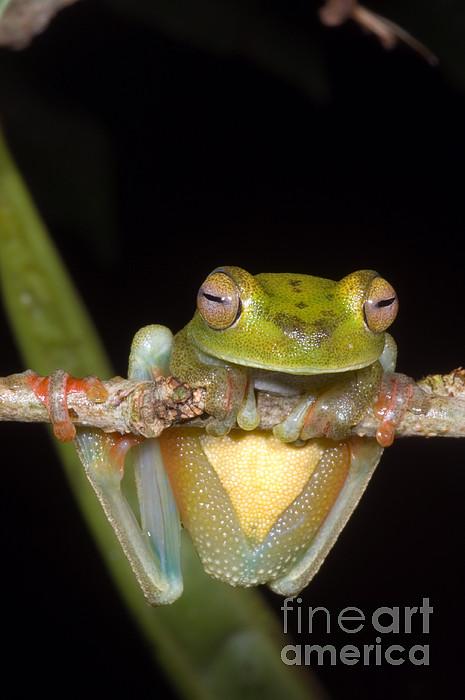 Canal Zone Tree Frog Print by Dante Fenolio