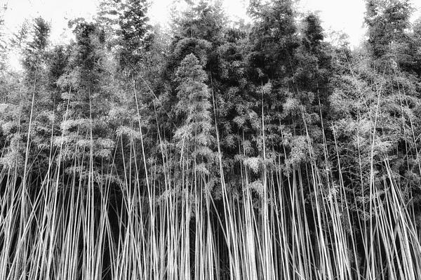 Canes At Canebrake Print by Brenda Bryant