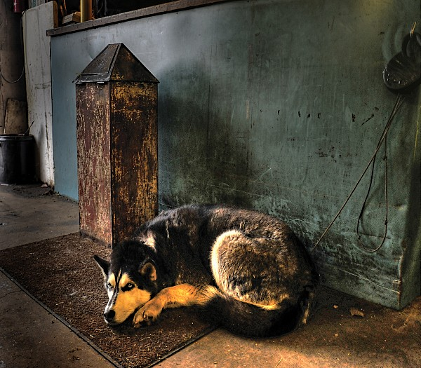 Canine Sentry Print by Don Wolf