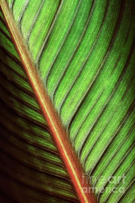 Canna Leaf Print by Neil Overy