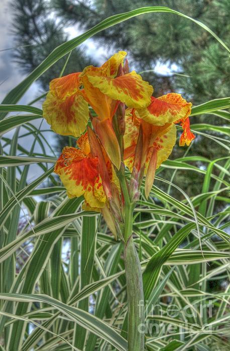 Canna Lily Print by David Bearden