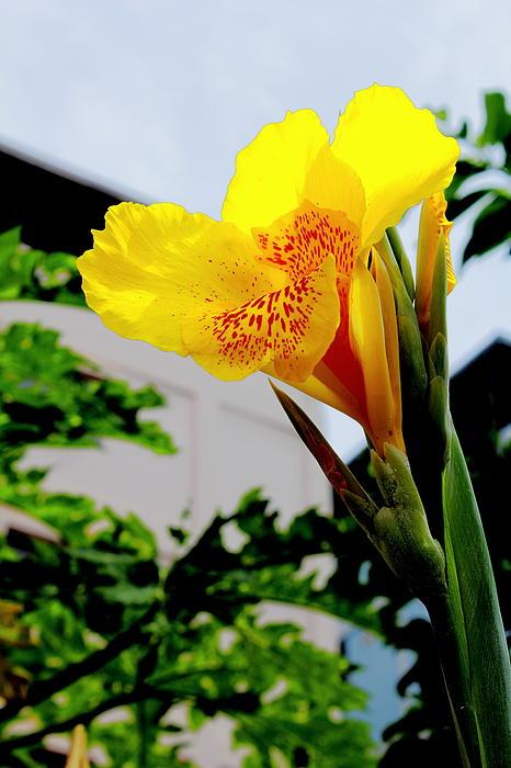 Canna Yellow Flowers. Print by Pitakpong Chansri