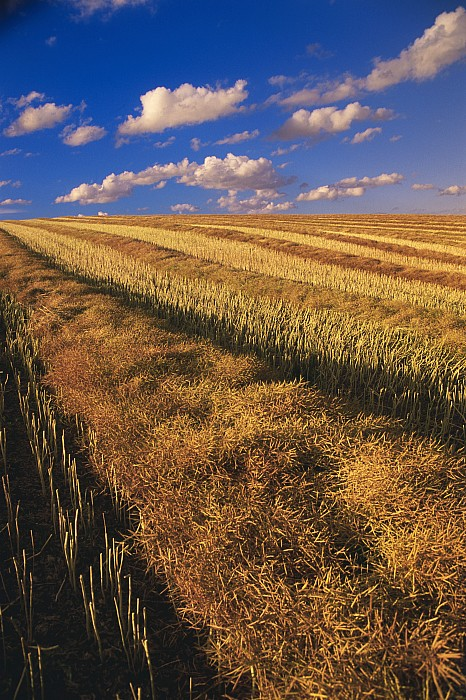 Canola Field, Tiger Hills, Manitoba Print by Dave Reede