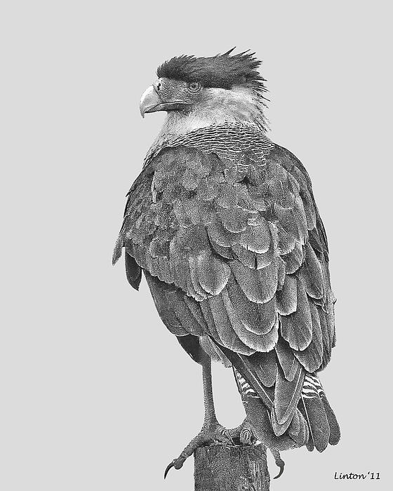 Caracara Print by Larry Linton
