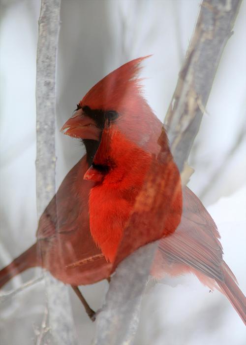 Cardinal Collage Print by Rick Rauzi
