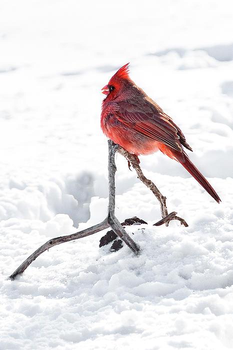 Cardinal In Snow Print by Tamyra Ayles
