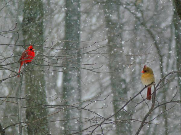 Cardinals In Snow Photograph  - Cardinals In Snow Fine Art Print