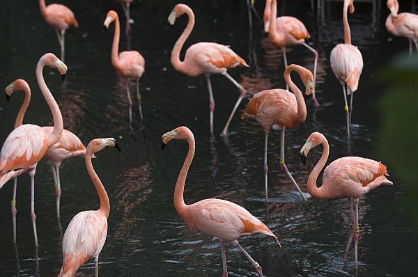 Caribbean Flamingoes At The Sedgwick Print by Joel Sartore