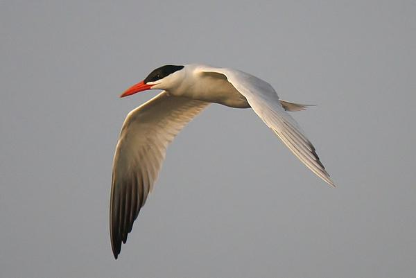 Caspian Tern In Flight Print by Paulette Thomas