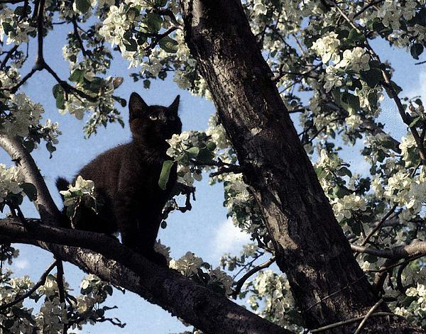 cat in an apple tree by george cousins. Black Bedroom Furniture Sets. Home Design Ideas