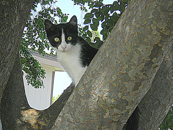 Rosa Shannon - Cat in the tree