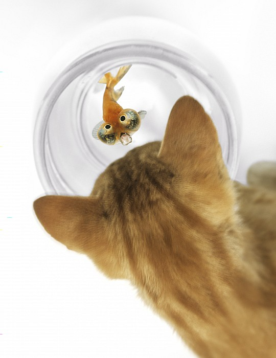 Cat Peering Into Fishbowl Print by Darwin Wiggett