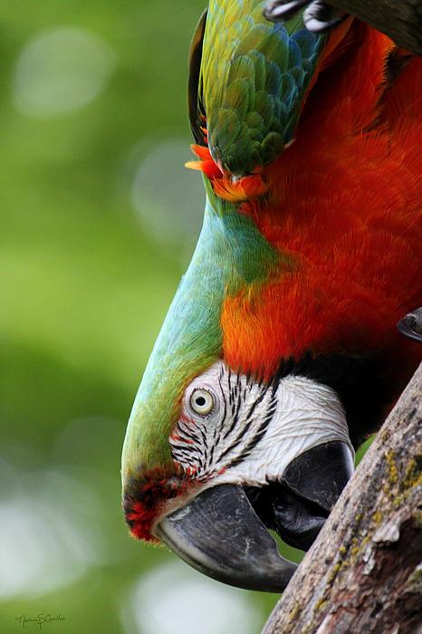 Catalina Macaw II Print by Nancy  Coelho