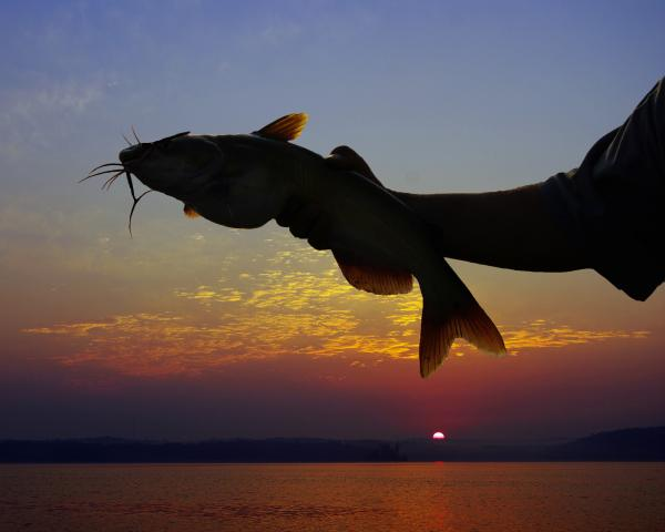 Catfish At Sunrise Digital Art  - Catfish At Sunrise Fine Art Print