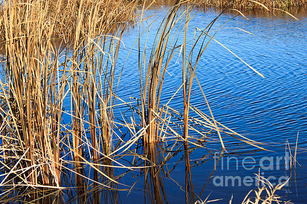 Cattail Reeds Print by Ms Judi