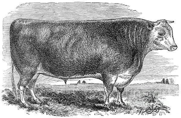 Cattle, C1880 Print by Granger