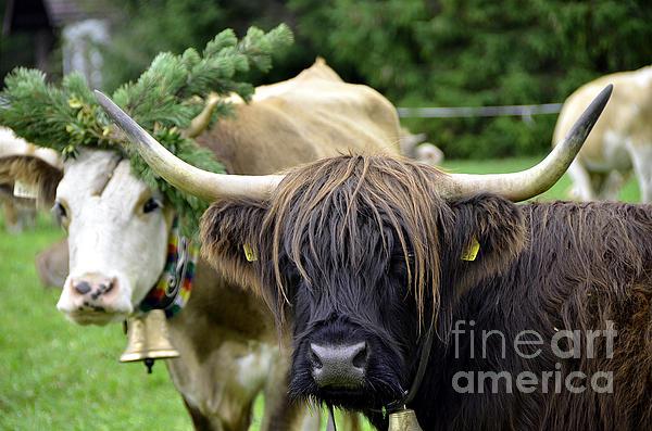 Cattle Drive In Alps Print by Elzbieta Fazel