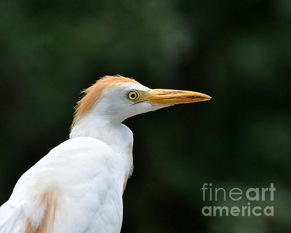 Cattle Egret Close-up Print by Al Powell Photography USA