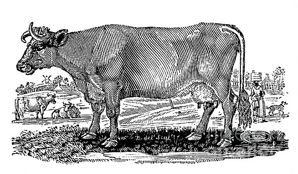 Cattle Print by Granger