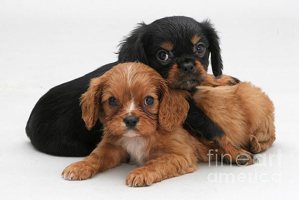 Cavalier King Charles Spaniel Puppies Print by Jane Burton