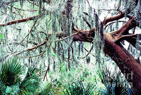 Cedar Draped In Spanish Moss Print by Thomas R Fletcher