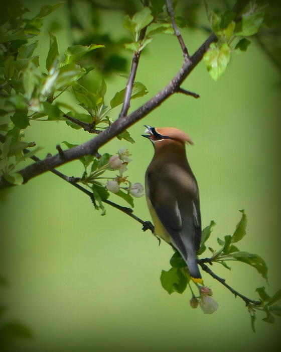 Carol Norman - Cedar Wax Wing