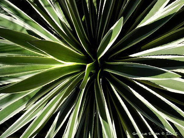 Century Plant Print by Grace Dillon