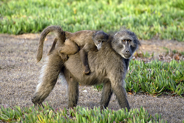 Chacma Baboon Mother And Young Print by Peter Chadwick