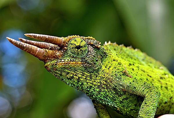 Chameleon Print by Bill Adams - MomentsNow.com