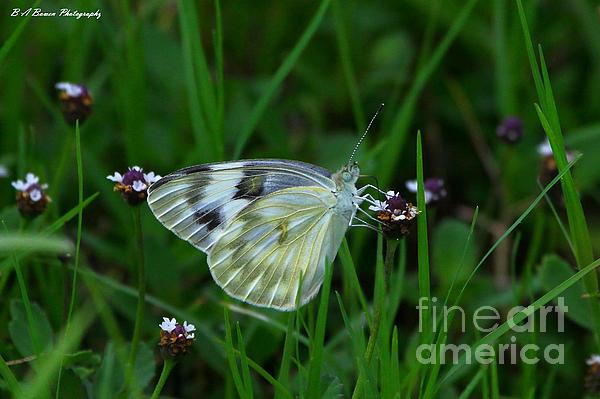 Checkered White Butterfly Print by Barbara Bowen