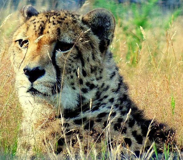 Lorainek Photographs - Cheetah 1